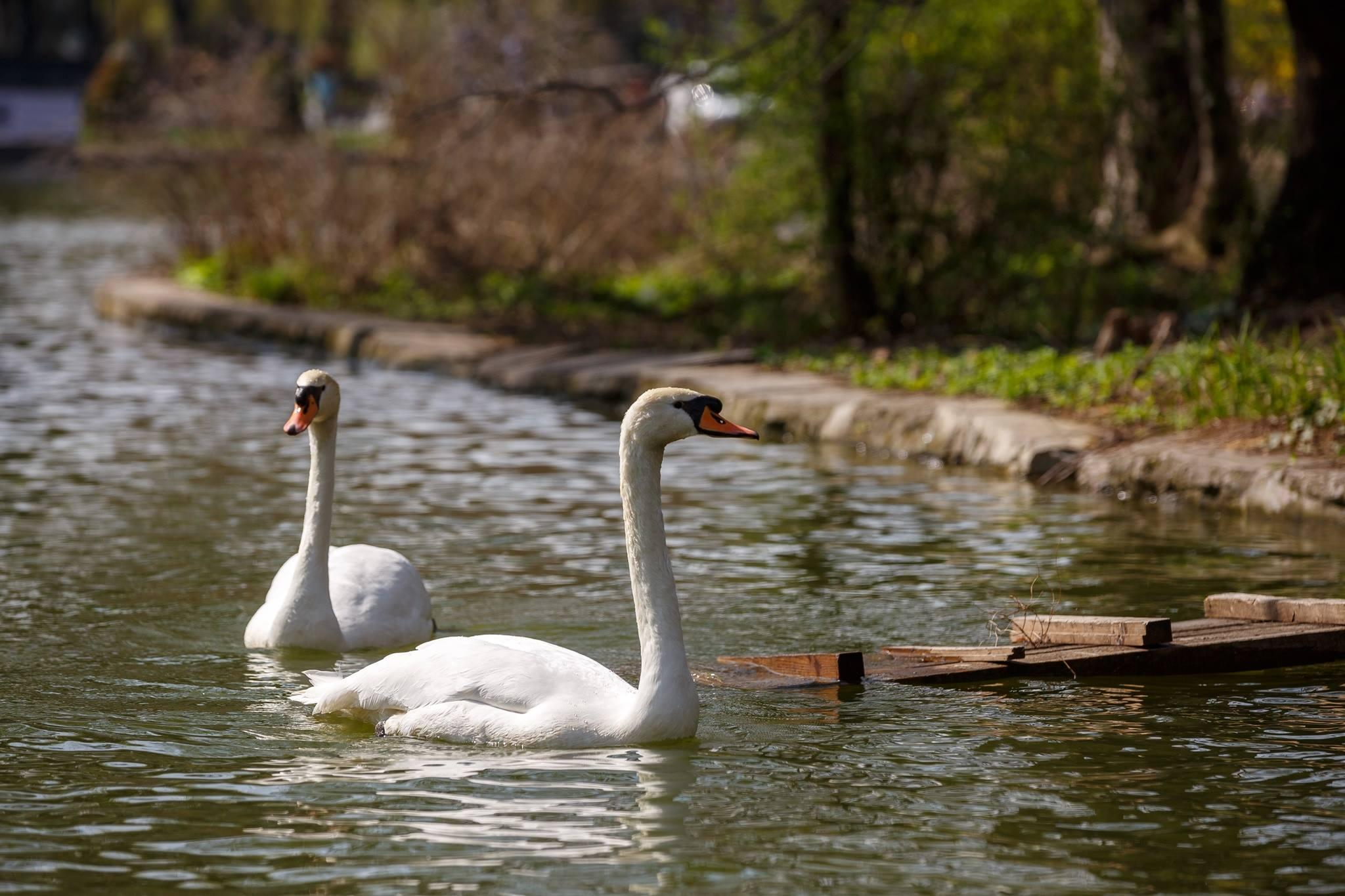 Lebedele au revenit pe Lacul Chios