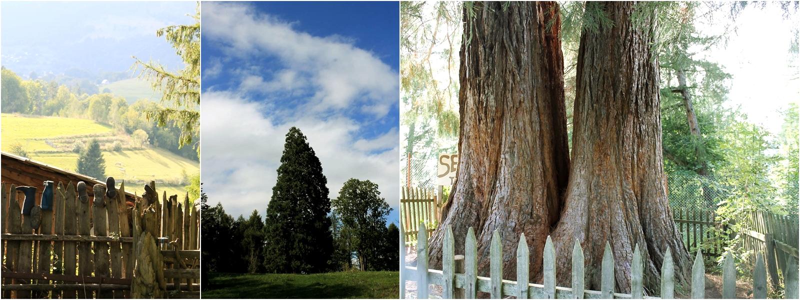 arborele de sequoia cluj săcuieu