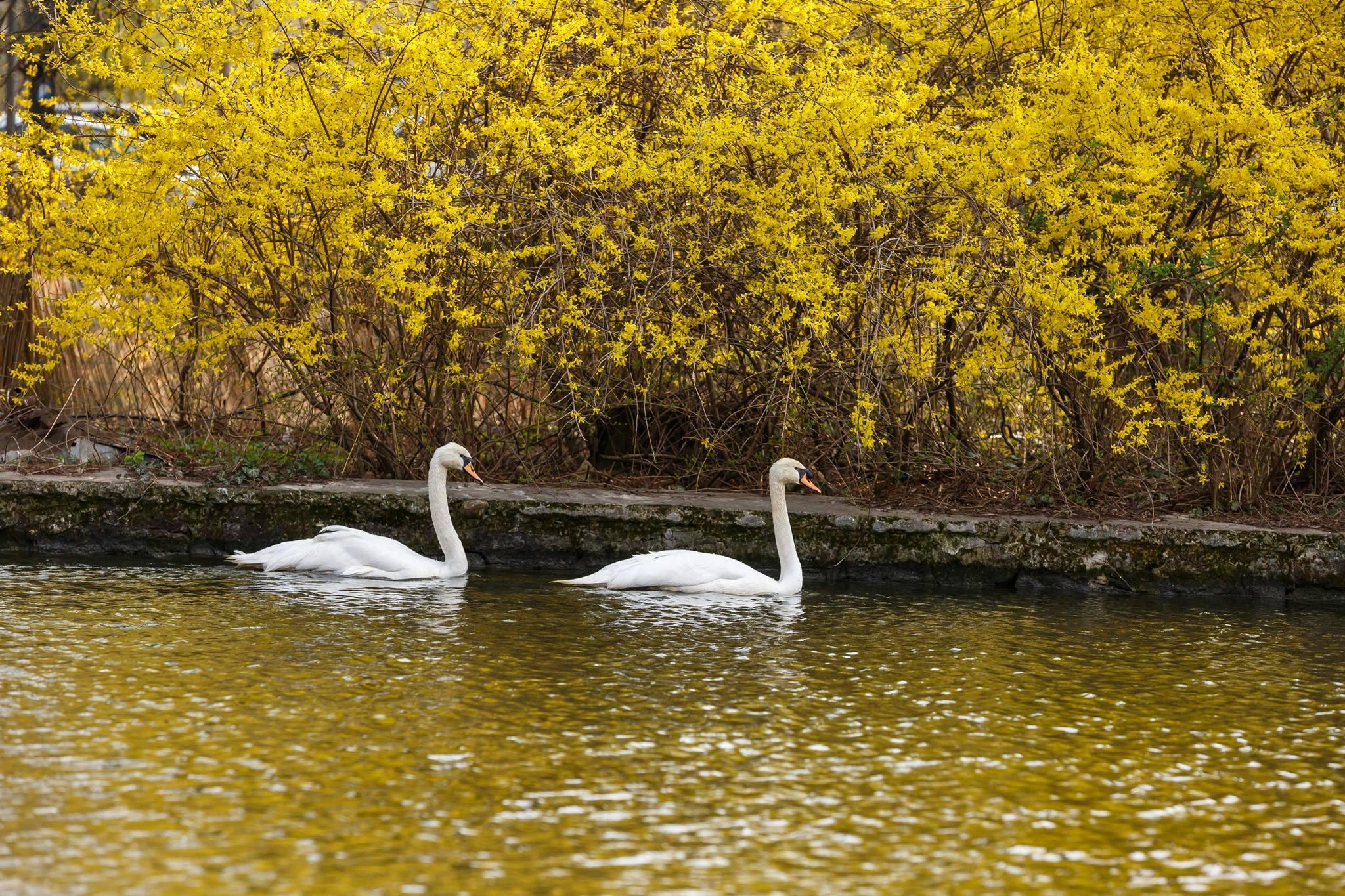 lebedele albe au revenit pe Lacul Chios 04-19 c