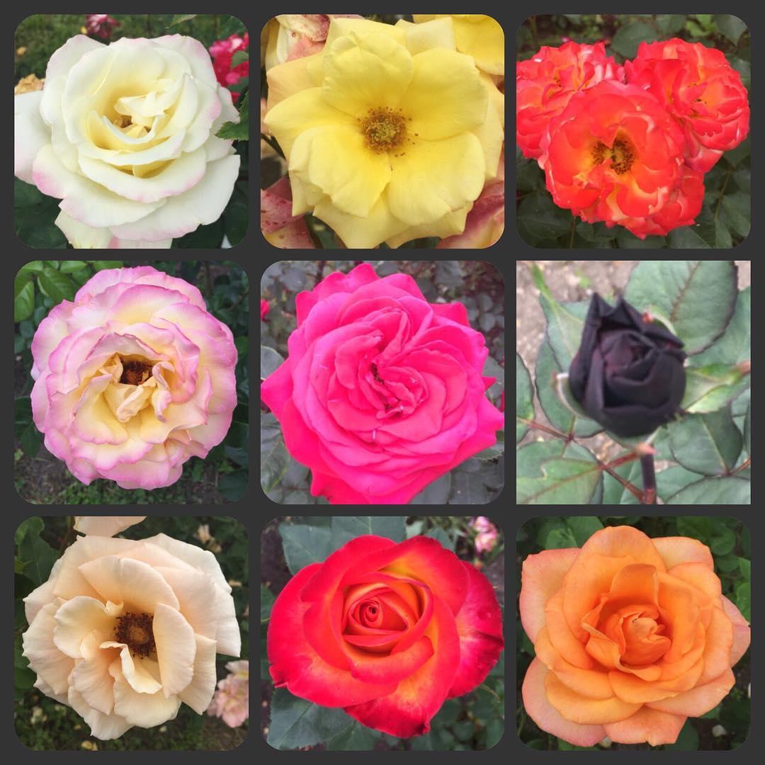 trandafiri gradina botanica cj