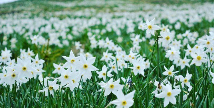 Poiana Narciselor