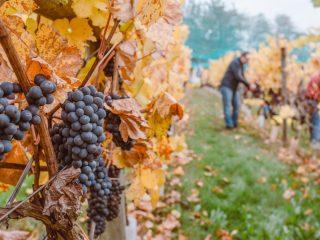 Lucrările de toamnă târzie: filtrarea vinului și pregătirea viței-de-vie pentru îngheț